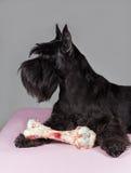 Cão do Schnauzer com osso grande Fotos de Stock
