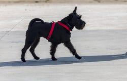 Cão do Schnauzer da raça mini foreground Passeio fotos de stock royalty free