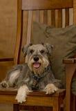 Cão do schnauzer diminuto na cadeira de balanço de madeira Fotos de Stock