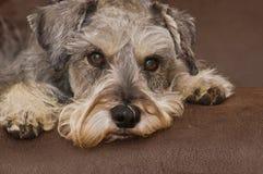 Cão do schnauzer diminuto que coloca em uma superfície marrom Imagens de Stock Royalty Free