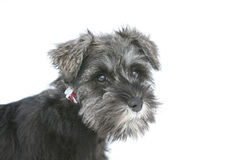 Cão do Schnauzer do cachorrinho Imagens de Stock Royalty Free