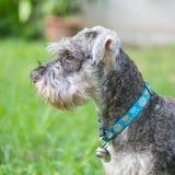 Cão do schnauzer do close up que olha no assoalho borrado da grama na frente do fundo da opinião da casa foto de stock