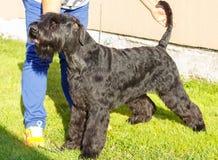 Cão do Schnauzer gigante Foto de Stock Royalty Free