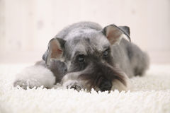 Cão do Schnauzer no tapete branco Fotos de Stock Royalty Free
