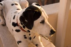 Cão do Show-off foto de stock royalty free