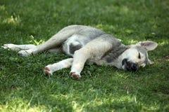 Cão do sono Imagens de Stock