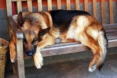 Cão do sono Imagem de Stock