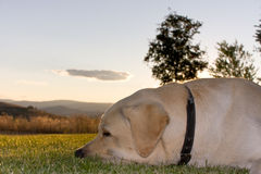 Cão do sono imagem de stock royalty free