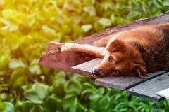 Cão do sono mas olhos abertos imagem de stock