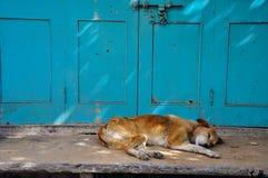 Cão do sono, Udaipur, Índia Imagem de Stock Royalty Free