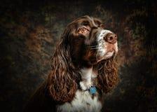 Cão do Spaniel de Springer inglês fotos de stock