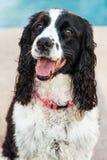 Cão do spaniel de Springer inglês fora do close up Foto de Stock