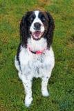 Cão do spaniel de Springer inglês na grama Imagens de Stock