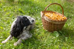 Cão do spaniel que encontra-se perto da cesta de vime com cogumelos Foto de Stock