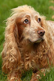 Cão do spaniel que olha triste Imagens de Stock Royalty Free