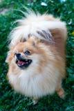 Cão do Spitz Foto de Stock Royalty Free
