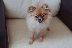 Cão do Spitz Fotografia de Stock