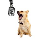 Cão do Spitz no fundo branco Imagens de Stock