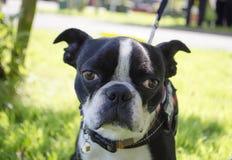 Cão do terrier de Boston Foto de Stock Royalty Free