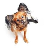 Cão do terrier de brinquedo. Imagens de Stock
