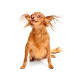 Cão do terrier de brinquedo. Fotografia de Stock Royalty Free