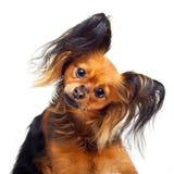 Cão do terrier de brinquedo. Fotos de Stock