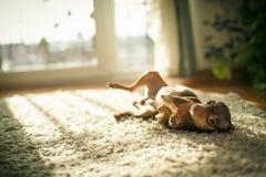 Cão do terrier de brinquedo do russo Imagem de Stock Royalty Free