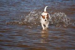 Cão do terrier de Jack Russell que joga na água foto de stock