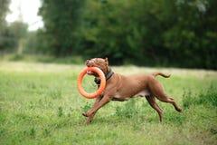Cão do terrier de pitbull no parque Imagens de Stock Royalty Free