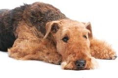 Cão do terrier do Airedale isolado Imagens de Stock
