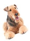 Cão do terrier do Airedale isolado Fotos de Stock