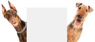 Cão do terrier do Airedale isolado Fotografia de Stock Royalty Free