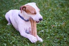 Cão do terrier do ministro de Jack russell que mastiga o osso Fotografia de Stock Royalty Free