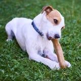 Cão do terrier do ministro de Jack russell que mastiga o osso Foto de Stock