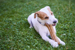 Cão do terrier do ministro de Jack russell que mastiga o osso Fotos de Stock Royalty Free