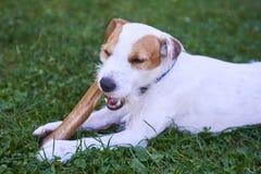 Cão do terrier do ministro de Jack russell que mastiga o osso Fotografia de Stock