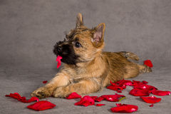 Cão do terrier do monte de pedras Fotografia de Stock Royalty Free
