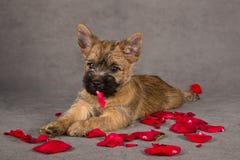 Cão do terrier do monte de pedras Fotos de Stock Royalty Free