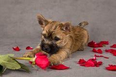 Cão do terrier do monte de pedras Imagem de Stock Royalty Free