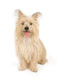 Cão do terrier do monte de pedras isolado no branco imagem de stock royalty free