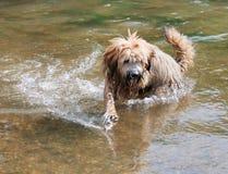 Cão do terrier tibetano Imagens de Stock Royalty Free