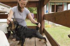 Cão do treinamento para a exposição Fotos de Stock