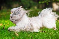 Cão do tzu de Shih fotos de stock royalty free