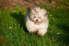 Cão do tzu de Shih Imagem de Stock