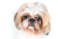 Cão do tzu de Shih em um fundo branco Fotografia de Stock Royalty Free