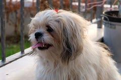 Cão do tzu de Shih no balcão imagem de stock royalty free