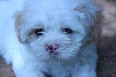Cão do tzu de Shih que encontra-se na jarda da grama Imagens de Stock Royalty Free