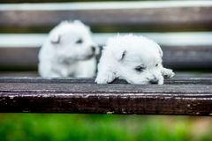 Cão do westie do terrier branco de montanhas ocidentais dos cachorrinhos em um banco de madeira fora no parque imagens de stock royalty free