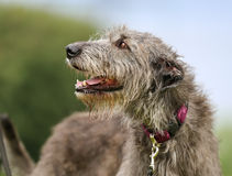 Cão do Wolfhound irlandês imagens de stock royalty free