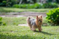 Cão do yorkshire terrier imagens de stock